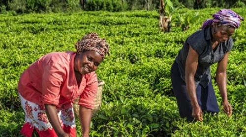 Global tea producer hollow fiber membrane technology